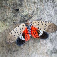 spotted-lanternfly-PICTURE