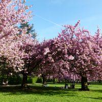 Cerisiers_en_fleurs_au_parc_de_Sceaux