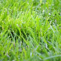 Crabgrass-growing-in-lawn-h