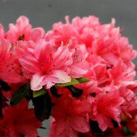 Pink_azaleas