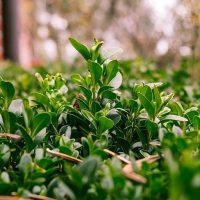 boxwood-nature-plant-green