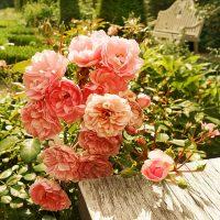 rose-flower-plant-rose-bush-preview