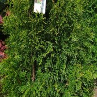 Emerald_Green_Arborvitae_plants_growing_in_NJ_in_April