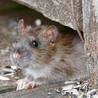 rodents-mouse