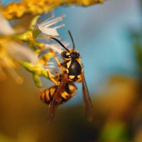 wasps-bees-stinging-insects-pest-control-600